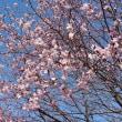 やっと桜🎶