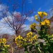 『河津桜』 菜の花