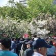 造幣局桜の通り抜けへ。