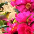 ビワの花の蜜を吸うメジロ