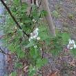 ラズベリー&ブラックベリーが咲き始めました。
