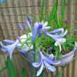 Ma fleur 水月 今年も名知らずさんが咲きました! 三年前に株分けした名知らずさんも初めて咲きました!!