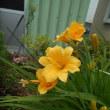 キスゲが可愛く咲いている!