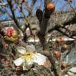 桜桃 開花