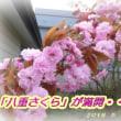 八重桜が満開です・・