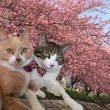 猫を留守番させて『葵桜まつり』河津桜を見てきた【猫日記こむぎ&だいず】2018 03 13