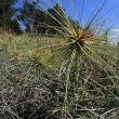 浜辺の植物:ツキイゲ イネ科
