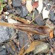 緑と茶色のタイプがいた  チョウセンカマキリ