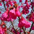 東山植物園の桜の回廊(2) ・・・ 名古屋市