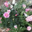 ピンクの苗