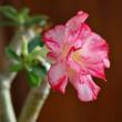 トリプルピンク開花