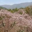 4月3日 🌸桜開花情報🌸