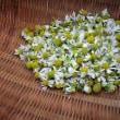 カモミールの花を摘んでいたら
