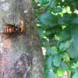 プリペットにスズメバチ