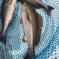 7月の漁模様 イサキを中心に。