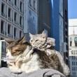 しだれ梅 と 銀座の猫