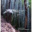 登山道の風景 竹林②