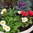 1691 「トキワザクラ」が咲いた(庭の花2927)