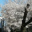 多摩川前検日と桜