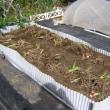 里芋栽培、収穫、害虫