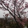 孫の桜開花