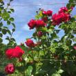 薔薇とフラメンコ