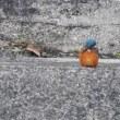 今治市の干潟のカワセミは毎日見られる?(その2)