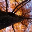 都立狭山公園の2017年晩秋・・ラクウショウの黄葉