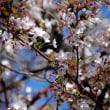 2018年3月30日の隅田川の桜