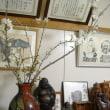倒木の古木桜我が家で満開