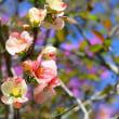ボケの花・・・鹿児島の風景