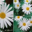 マーガレットの花は