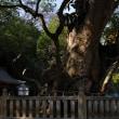 大山祇神社の御神木