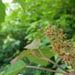 アカメガシワの雄花と雌花