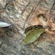 オオムラサキのオスとメス、羽ひろげず