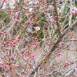 尾高城跡(米子市)の梅を見に行ってきた