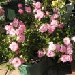 菊の愛好家の見事な菊と初冬のピンクのバラ