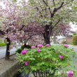 平成30年4月17日(火) 白井の八重桜♪