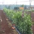 エンドウと極早生タマネギ初収穫