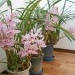 我が家的満開の花