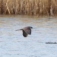 水面を飛ぶ 3