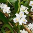 4月 7日(土) ハイキング 井之頭恩賜公園でお花見