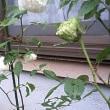 緑色のバラ