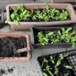 キンセンカの苗の植え替え