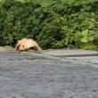 眠そうなアナグマ
