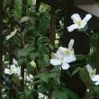 庭の花 クレマチスモンタナ