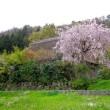 """枝垂れ桜の里""""最後の一花""""と米山知事の辞任"""