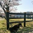 桜、見たで