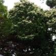 栗の花が落ち始めると梅雨になる、、、、、、、、