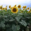 キク科の花と落花生畑とため池のことなど